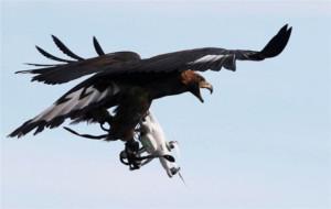kartallar-izinsiz-ucan-drone-lari-affetmiyor-707970_6349_3_b